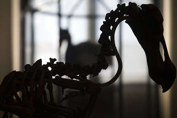 This picture taken on September 16, 2014 shows the skeleton of a dodo, an extinct bird, in the Evolution's great gallery of the Museum of Natural History in Paris. The Evolution's great gallery celebrates this year its 20th anniversary.  AFP PHOTO/JOEL SAGETJOEL SAGET/AFP/Getty Images
