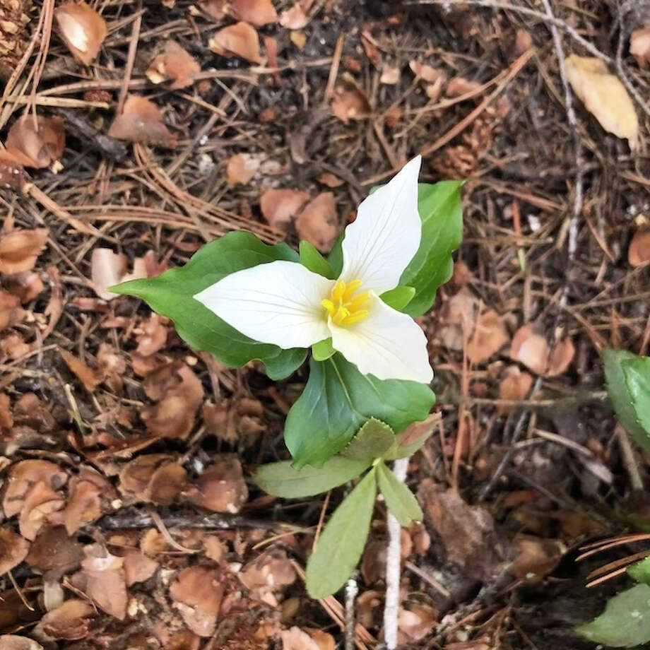 A trillium blooms in a woodland. The same plant will emerge from an underground rhizome and flower year after year. And the flowers can grow to be over 70 years old. Photo: Photoo For The Washington Post By Emma Marris / Emma Marris