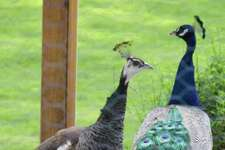 Harrybrooke Park in New Milford celebrated the return of the peacocks at a special welcome home party May 19, 2019. The peacocks, are Frank and Liz, named for the owners of the estate that became Harrybrooke.