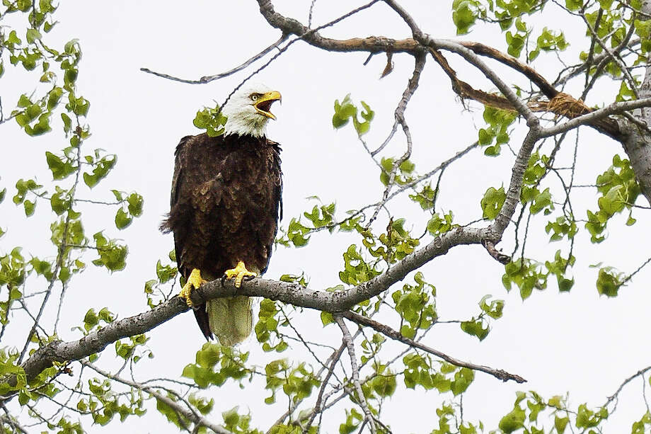 A bald eagle calls out from a branch above its nest in a tree along Poseyville Road on Monday, May 20, 2019 in Midland. (Katy Kildee/kkildee@mdn.net) Photo: (Katy Kildee/kkildee@mdn.net)