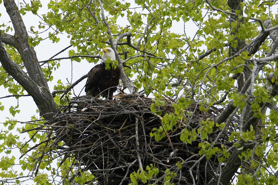 A bald eagle peers out from a branch above its nest in a tree along Poseyville Road on Monday, May 20, 2019 in Midland. (Katy Kildee/kkildee@mdn.net) Photo: (Katy Kildee/kkildee@mdn.net)