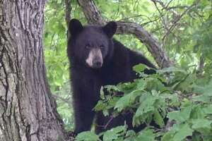 A black bear. Photo courtesy of the Connecticut Department of Energy and Environmental Protection web site.