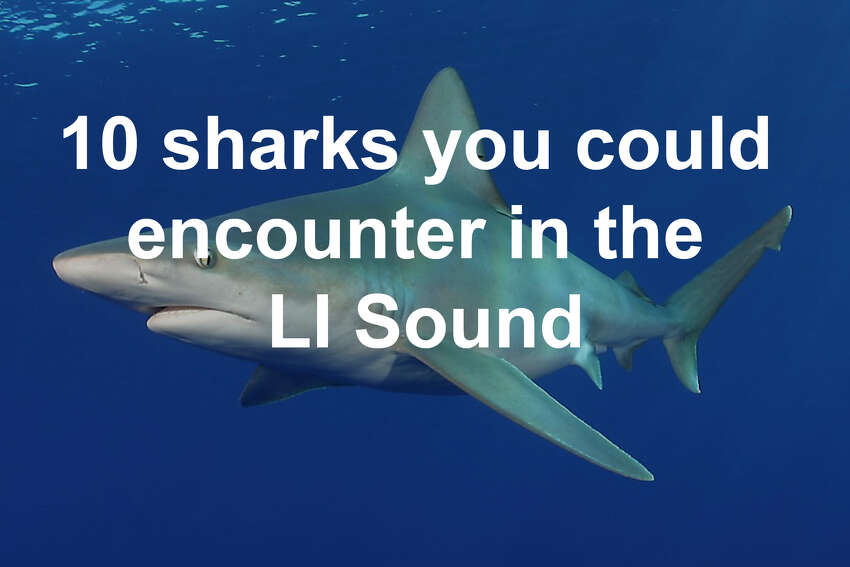 The Long Island Sound is a relatively safe place to swim, but there are some sharks around that you should look out for. Click through to learn about five sharks that live in these waters, and five that tend to visit from time to time.