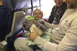 """Warrin and Burra, two male koalas on loan from the San Diego Zoo, arrived in San Antonio on Monday to begin their summer stay at the """"Wild Australia"""" exhibit taking place from May 25 to Sept. 2."""