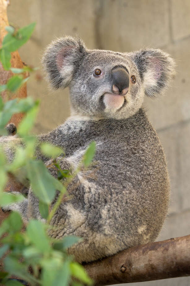 "Warrin and Burra, two male koalas on loan from the San Diego Zoo, arrived in San Antonio on Monday to begin their summer stay at the ""Wild Australia"" exhibit taking place from May 25 to Sept. 2. Photo: Courtesy, San Antonio Zoo"