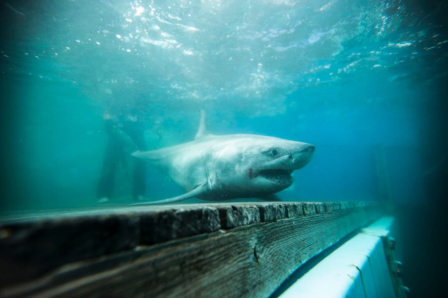 A great white shark was tracked in Long Island Sound for the first time. That's good news.