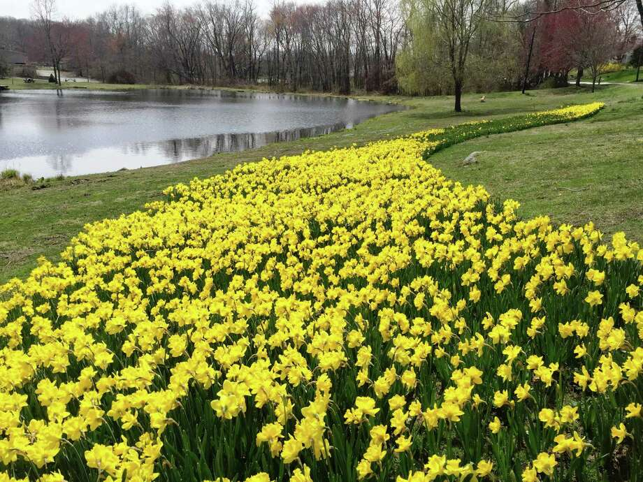 A bequest to the Essex Foundation has resulted in beautification in areas of town, including daffodil plantings at Sunset Pond. Photo: Contributed Photo