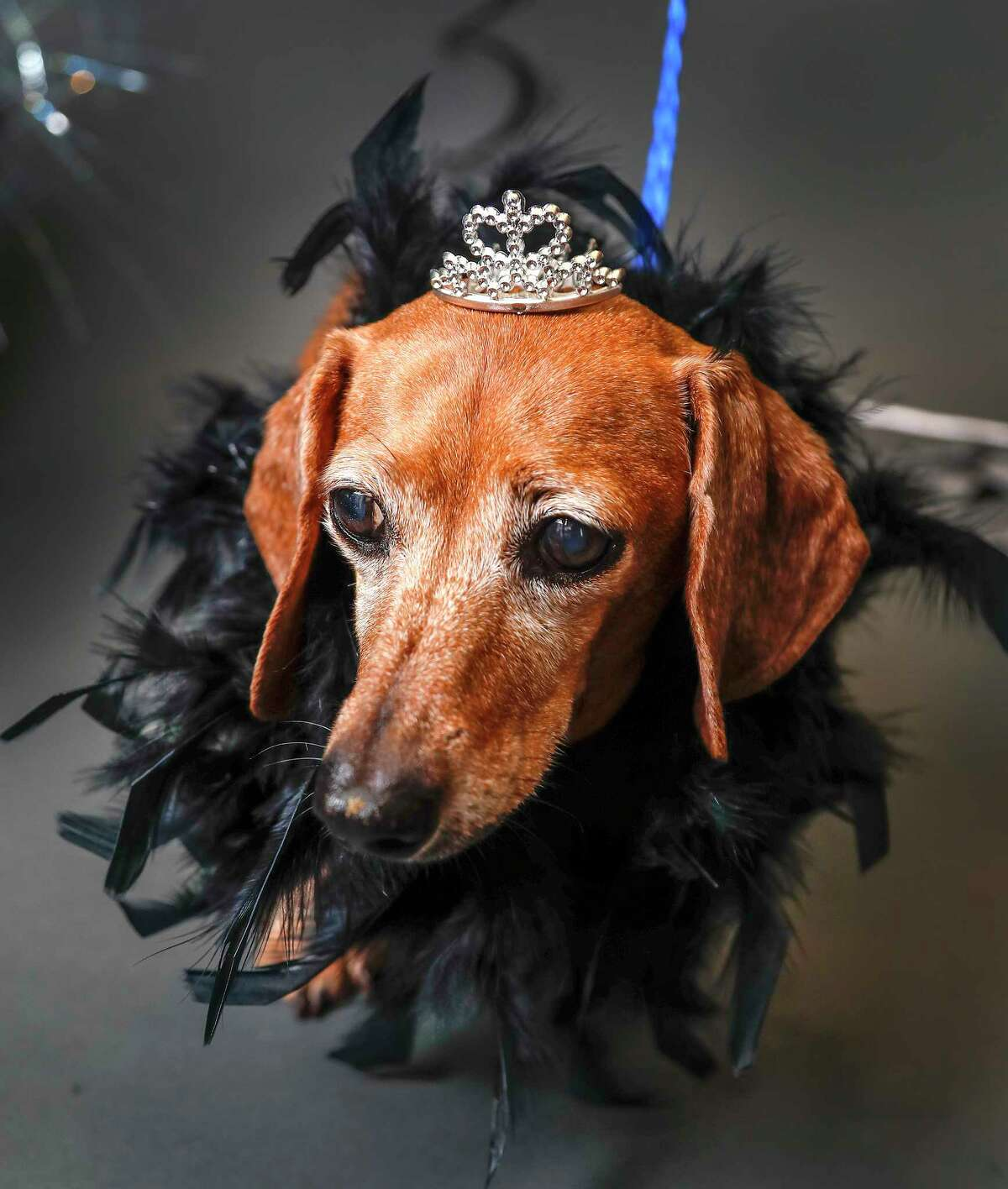 Crissy is a 10-year-old, female, Dachshund mix available for adoption at the BARC Houston Animal Shelter, in Houston. (Animal ID: A1628787) Crissy is a sweet senior girl, who would love to lounge on the couch with you.