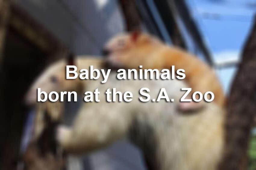 Animals born at the San Antonio Zoo.