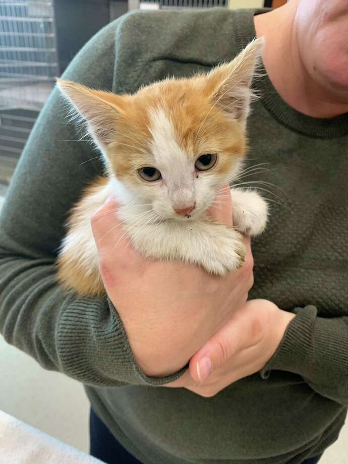 Santa Clara County sheriff's deputies and San Jose firefighters rescued a kitten from a Cupertino storage drain on Tuesday morning.  Photo: Santa Clara County Office Of The Sheriff