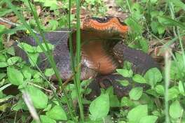 A rare eastern hognose snake was recently spotted at the Brazos Bend State Park. The snakes are named after their upturned snout they use for digging and are known for mimicking the look of the highly venomous cobra snake when they feel threatened.