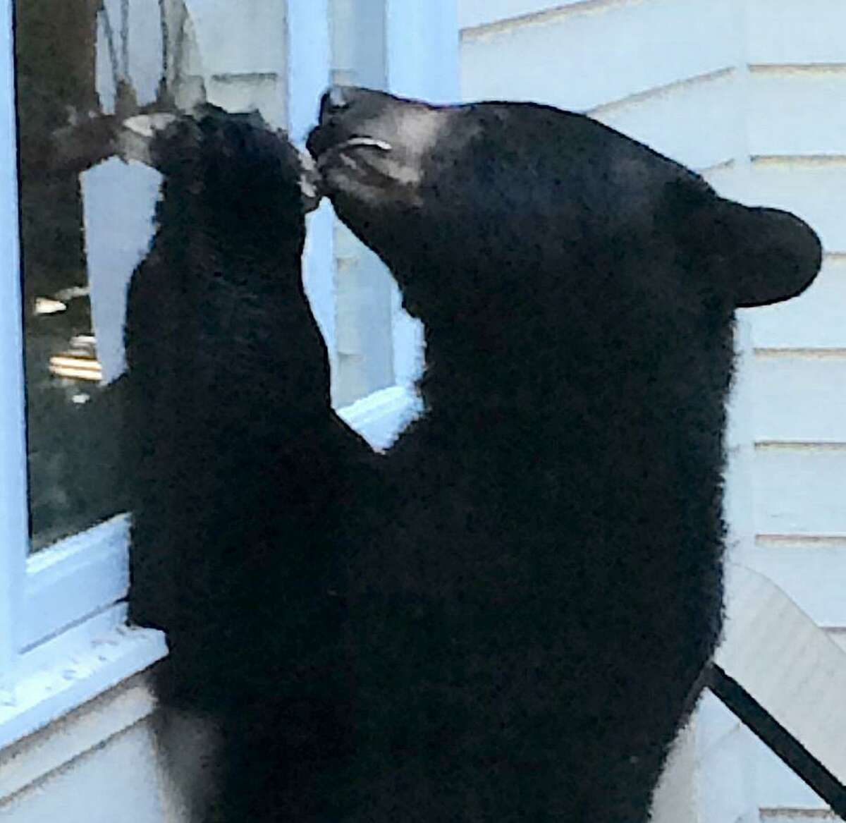 Black bears were spotted prowling through local neighborhoods several times last summer, none more dramatically than when Barbara Ross-Innamorati snapped this photo of a bear that visited her Charcoal Hill Commons home's deck. A bear was sighted in Westport on Wednesday, May 21, 2019.