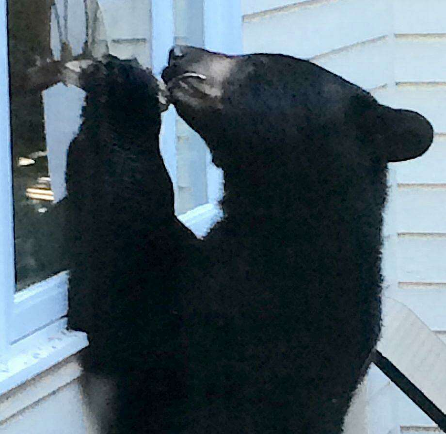 Black bears were spotted prowling through local neighborhoods several times last summer, none more dramatically than when Barbara Ross-Innamorati snapped this photo of a bear that visited her Charcoal Hill Commons home's deck. A bear was sighted in Westport on Wednesday, May 21, 2019. Photo: File Photo / File Photo / Westport News