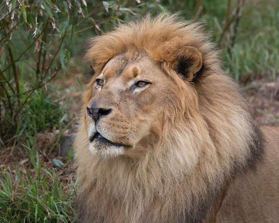 Jahari, a popular African lion living at the San Francisco Zoo, has died at age 16, zoo officials announced Wednesday. Photo: San Francisco Zoo /