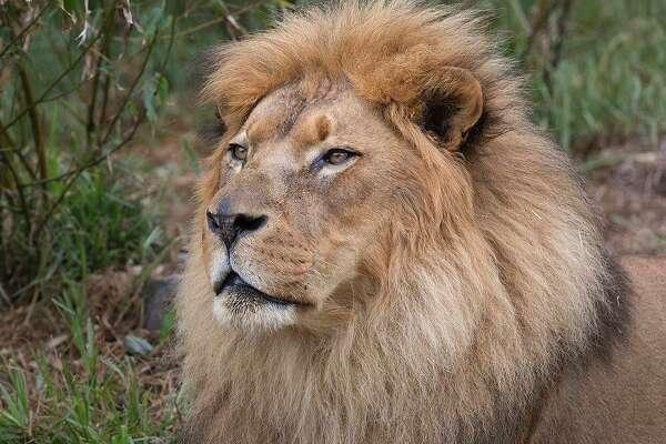Jahari, popular 16-year-old lion at San Francisco Zoo, dies of old age
