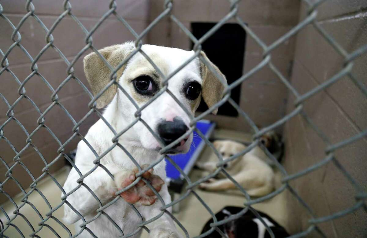 A dog sits in a kennel with three other dogs at the Harris County Animal Shelter, where hundreds of people lined up for hours to adopt or foster animals with reduced adoption fees to $10 for all animals, Wednesday, May 22 through Friday, May 24, 2019. In less than 48 hours, Harris County Animal Shelter has taken in from the community over 200 animals to the already overcrowded facility. With reduced adoption fees, and provide supplies if needed to Harris County residents willing to foster animals. Adoption fee includes spay or neuter procedure, all age appropriate vaccines, a microchip and a one-year pet license.