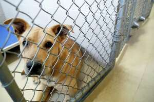 A dog sits in a kennel at the Harris County Animal Shelter, where hundreds of people lined up for hours to adopt or foster animals with reduced adoption fees to $10 for all animals, Wednesday, May 22 through Friday, May 24, 2019. In less than 48 hours, Harris County Animal Shelter has taken in from the community over 200 animals to the already overcrowded facility. With reduced adoption fees, and provide supplies if needed to Harris County residents willing to foster animals. Adoption fee includes spay or neuter procedure, all age appropriate vaccines, a microchip and a one-year pet license.