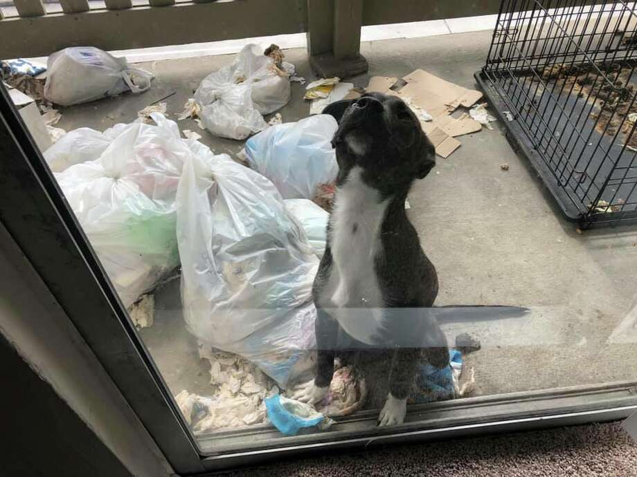 Five severely malnourished and dehydrated dogs were found and rescued from a Houston apartment Wednesday. An active investigation is underway. Photo: Harris County Constable Precinct 1 Constable Alan Rosen