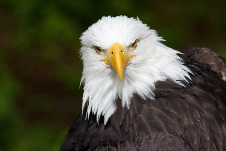 A bald eagle. (image fromny.audubon.org) Photo: Provided