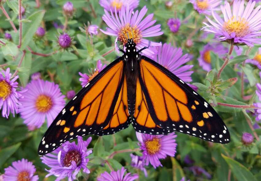 A monarch is among the many visitors to the butterfly garden at Up Yonda Farm in Bolton Landing. (Provided photo.)