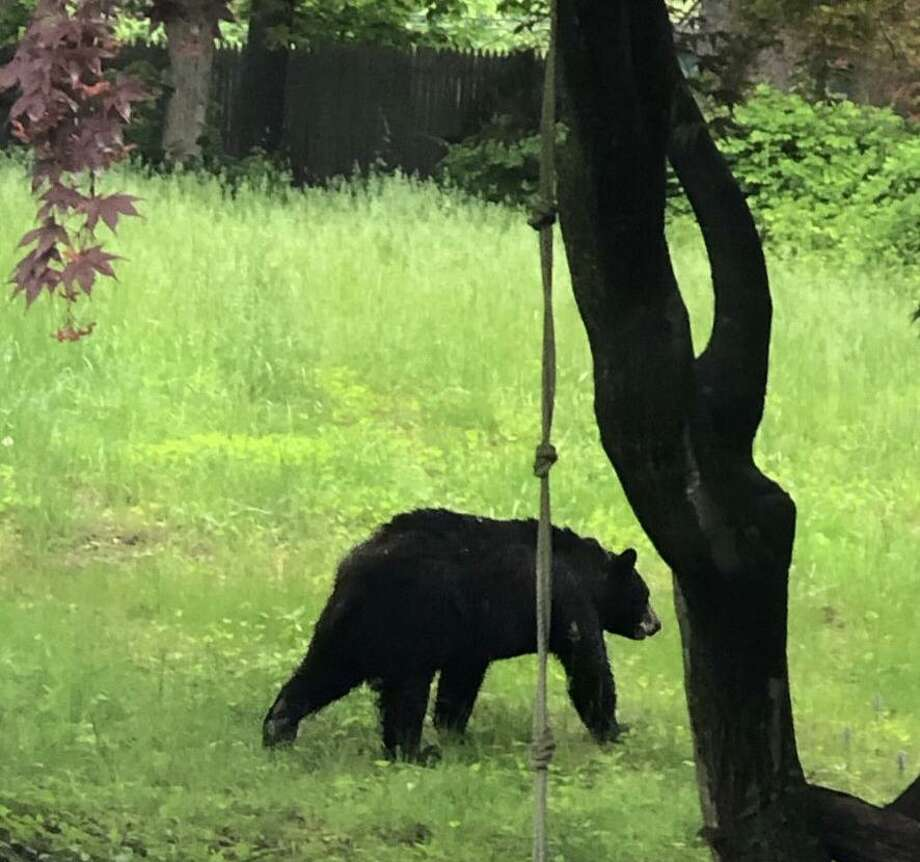This young black bear was spotted off East Rocks Road in Norwalk on Thursday, May 23, 2019. Photo: Norwalk Police Photo