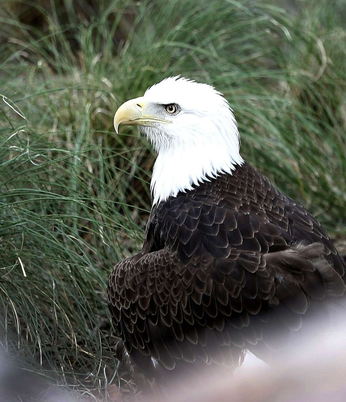 Sally Ride, a Bald Eagle, in her enclosure inside of the Houston Zoo's new Texas Wetlands exhibit, and brings together three native Texas species-bald eagles, whooping cranes, and American alligators-in a lush wetland habitat, in Houston, Tuesday, May 21, 2019. The Endangered Species Act and the efforts of Texans have helped those species - once close to extinction - thrive in the Lone Star State.