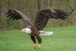 Joe Fazioli spotted this bald eagle protecting a nest on a nearby farm in - of all places - Eagle Mills, a hamlet of Brunswick, N.Y.