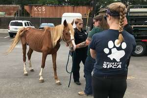 The horse was transported to the Houston SPCA Equine Center to be examined by a staff veterinarian and will be slowly re-introduced to food.