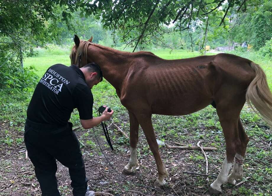 Severely emaciated stallion left tied to a tree in north Houston for at least a month, police say