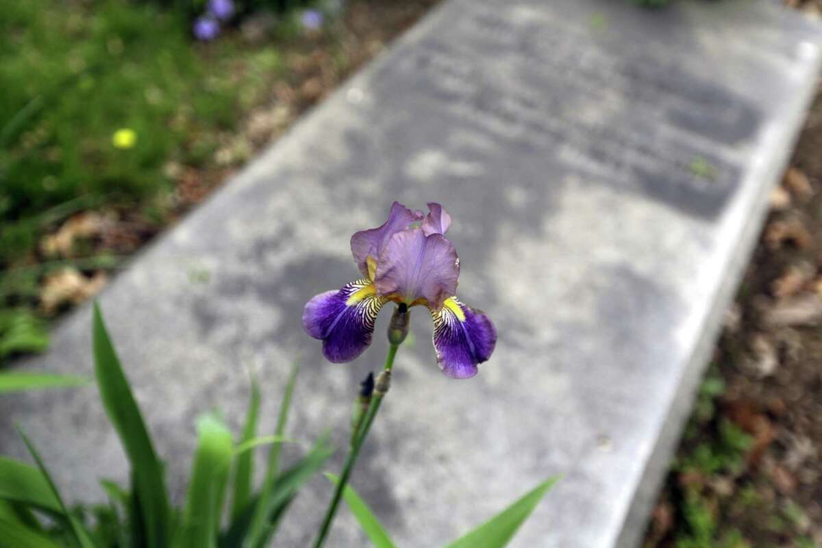 An iris grows at the Helmbold family plot at The Woodlands Cemetery. The cemetery has an approved list of plants from which volunteer gardeners can choose.