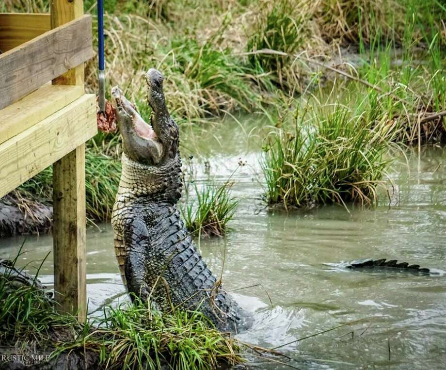 Crocodile Encounter is wildlife educational facility that works to promote species survival for endangered animals. The 23-acre facility is home to at least 250 crocodiles and alligators as well a 200 or so other animals, including kangaroos, lemurs, antelopes, pigs, tortoises and more. Photo: Courtesy Chris Dieter/Crocodile Encounter