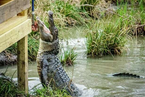 Crocodile Encounter