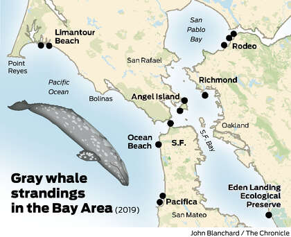 Two more dead gray whales turned up this week near Bay Area