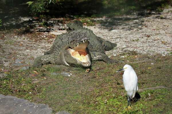 Smiley the salt water crocodile is the official greeter at Gatorland in Kissimmee, Fla. He's seen here welcoming this newly arrived snowy egret with a big, toothy grin. (Joseph Sheehan)
