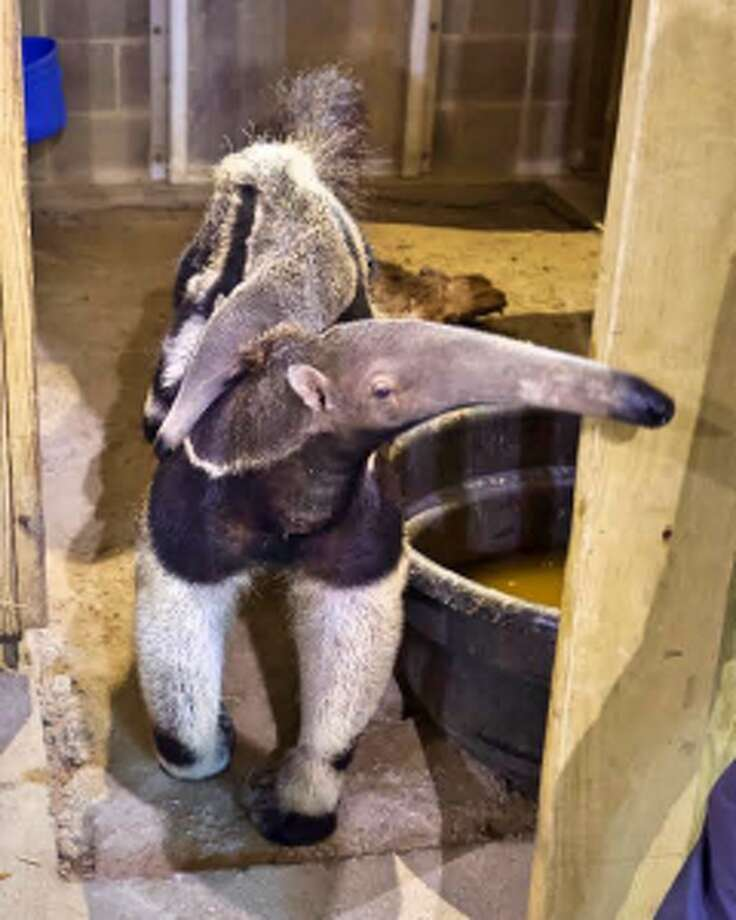 Tupi and his mother Pana are now available for viewing at CT's Beardsley Zoo.