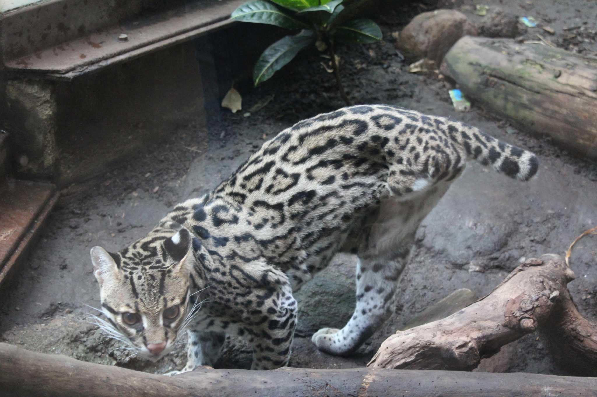 Beardsley Zoo's ocelot Kuma, has died