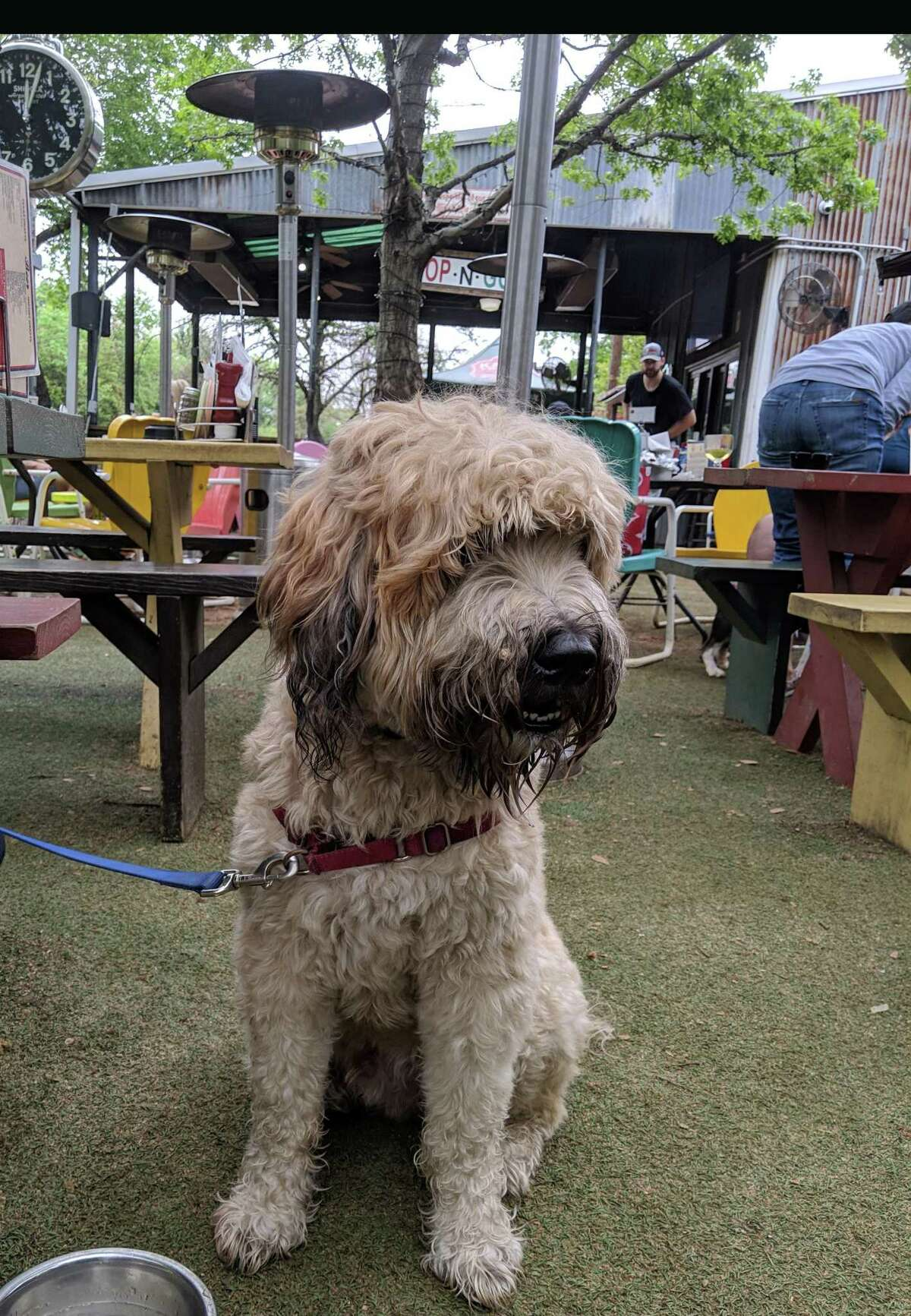 Teddy the Wheaten Terrier enjoys a weekend in Dallas with his human, Houston Chronicle features writer Maggie Gordon.