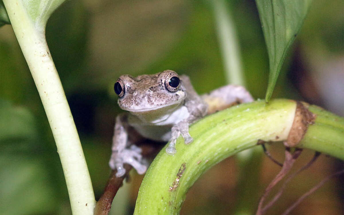 Gray tree frog -Maritime Aquarium photo
