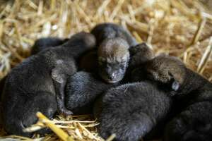Red wolf pups May 15, 2019, at Point Defiance Zoo & Aquarium