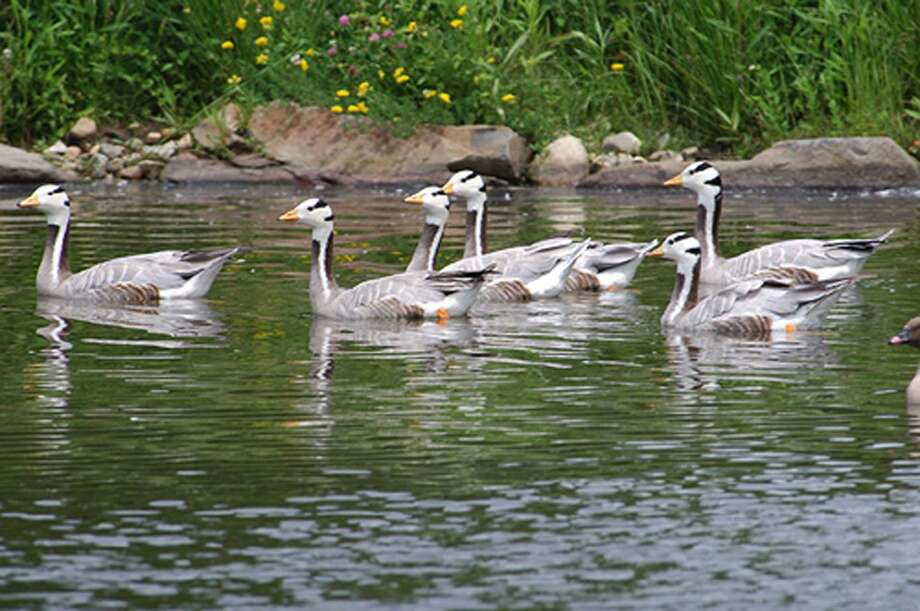 A flock of bar-headed geese swims around the duck pond. Photo: Photo Courtesy Of Livingston Ribley Waterfowl Conservancy