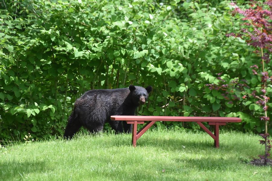 Black bear sightings continue in Fairfield County