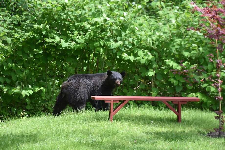 A Wilton resident took this photo of a black bear wandering in the backyard on Friday. Photo: Contributed Photo
