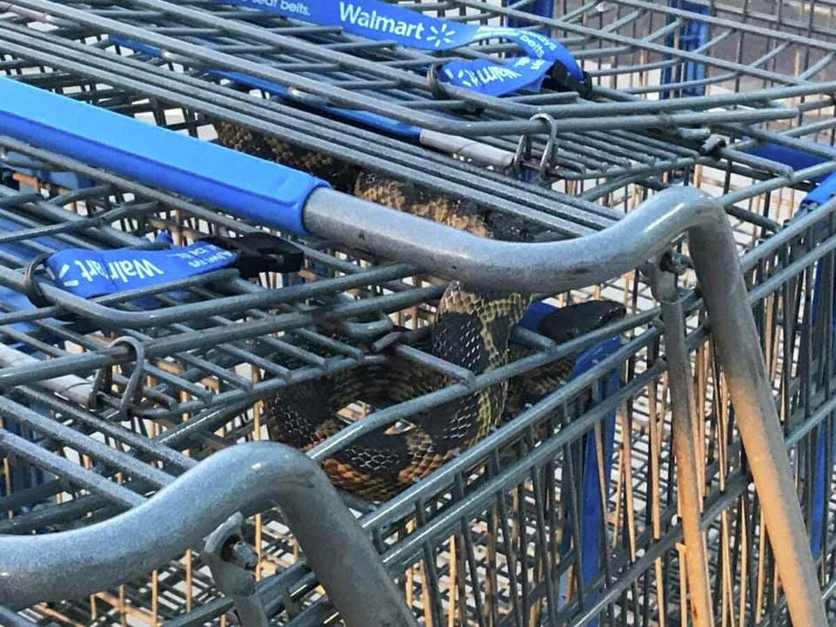 A shopping cart attendant in Texas got a surprise over the weekend when they spotted a large rat snake twisted inside shopping carts in a Walmart parking lot.