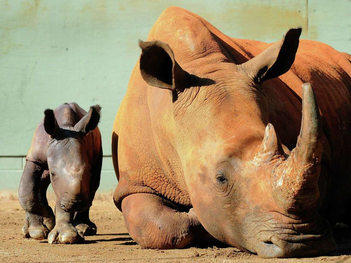 A day old baby rhino weighing between 50 and 60 kilograms with her mother Cabelle, an endangered Southern White Rhinoceros, at the Australia Zoo near Brisbane.
