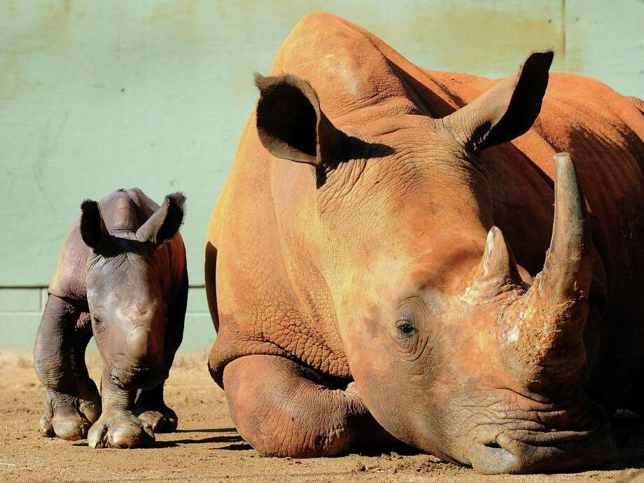 A day old baby rhino weighing between 50 and 60 kilograms with her mother Cabelle, an endangered Southern White Rhinoceros, at the Australia Zoo near Brisbane. Photo: Australia Zoo /Getty Images / AFP