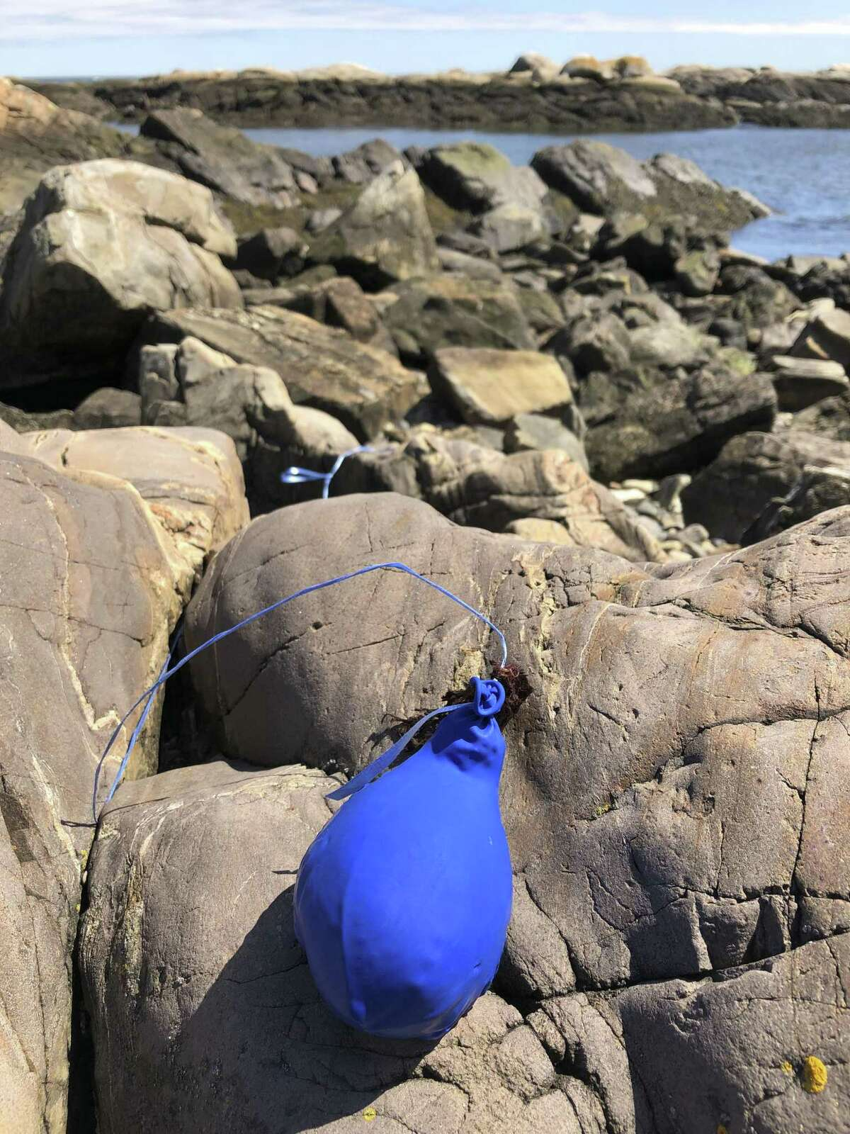A balloon sits tangled on the rocky coast after washing ashore. Bills are pending in a growing number of states to ban the feel-good tradition of releasing helium-filled balloons at events, since they have the unintended consequence of spoiling the environment and threatening wildlife.