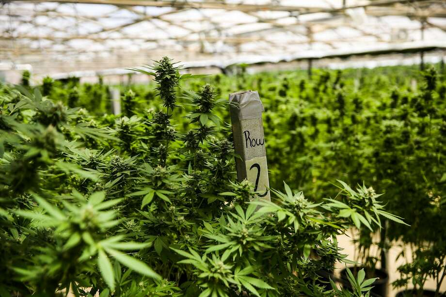 Marijuana grows in a greenhouse at Harborside Farms in Salinas. Napa County could get a ballot measure making it legal to grow marijuana in the county. . Photo: Gabrielle Lurie / The Chronicle 2017