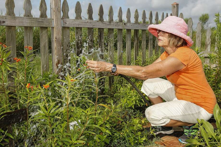 """Diane Russell will talk about """"How to Design a Butterfly Garden"""" at the June 22 grand opening of a butterfly garden at Willow Fork Park. Above, Russell, a Katy Prairie Conservancy volunteer, washes aphid eggs off Mexican milkweed at the conservancy's Indiangrass Preserve. The group is seeking to increase the number of milkweed plants in the Houston area to boost the declining monarch butterfly population. Photo: Diana L. Porter, Freelance / For The Chronicle / © Diana L. Porter"""