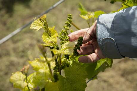 Valerie Ahlgren looks at the nascent grape clusters at the vineyard she and her husband planted. Photo: Santiago Mejia / The Chronicle