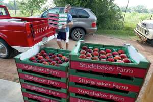 Samuel Studebaker unloads just-picked peaches Wednesday, May 22, 2019 at the family's stand on US 290 east of Fredericksburg. Virtually all Hill Country peach producers are reporting abundant crops of quality peaches.